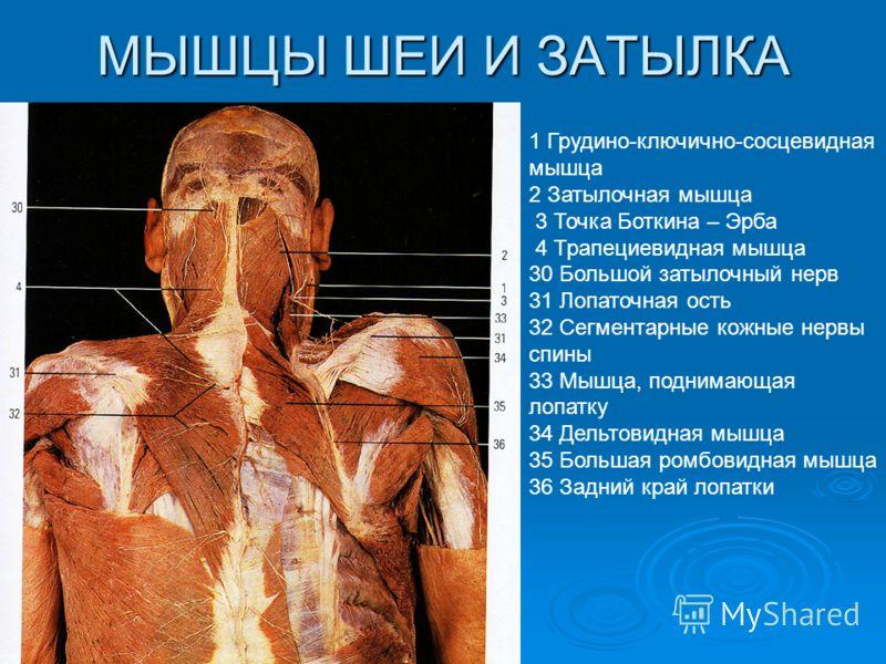 МЫШЦЫ ШЕИ И ЗАТЫЛКА 1 Грудино-ключично-сосцевидная мышца 2 Затылочная мышца 3 Точка Боткина – Эрба 4 Трапециевидная мышца 30 Большой затылочный нерв 31 Лопаточная ость 32 Сегментарные кожные нервы спины 33 Мышца, поднимающая лопатку 34 Дельтовидная м