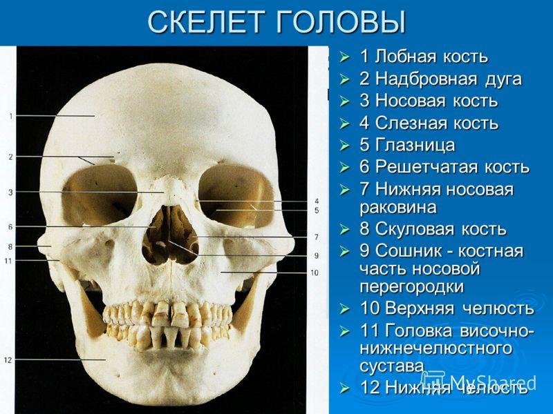 СКЕЛЕТ ГОЛОВЫ 1 Лобная кость 1 Лобная кость 2 Надбровная дуга 2 Надбровная дуга 3 Носовая кость 3 Носовая кость 4 Слезная кость 4 Слезная кость 5 Глазница 5 Глазница 6 Решетчатая кость 6 Решетчатая кость 7 Нижняя носовая раковина 7 Нижняя носовая рак