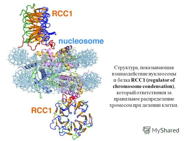 Структура, показывающая взаимодействие нуклеосомы и белка RCC1 (regulator of chromosome condensation), который ответственен за правильное распределение хромосом при делении клетки.