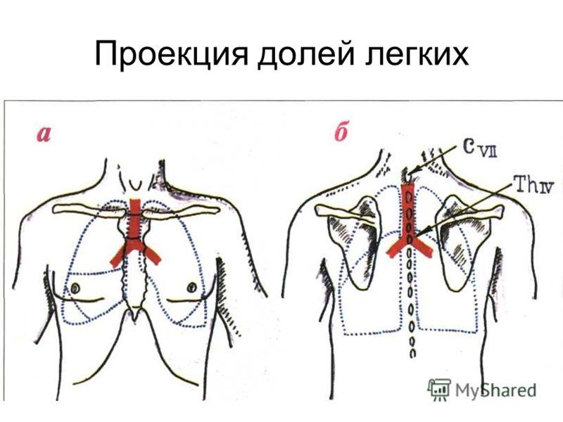 Проекция долей легких