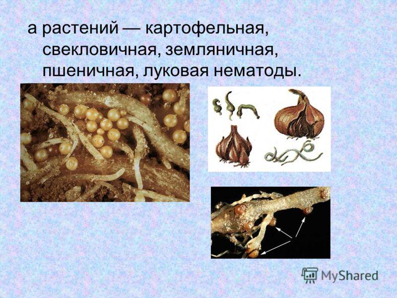 а растений картофельная, свекловичная, земляничная, пшеничная, луковая нематоды.