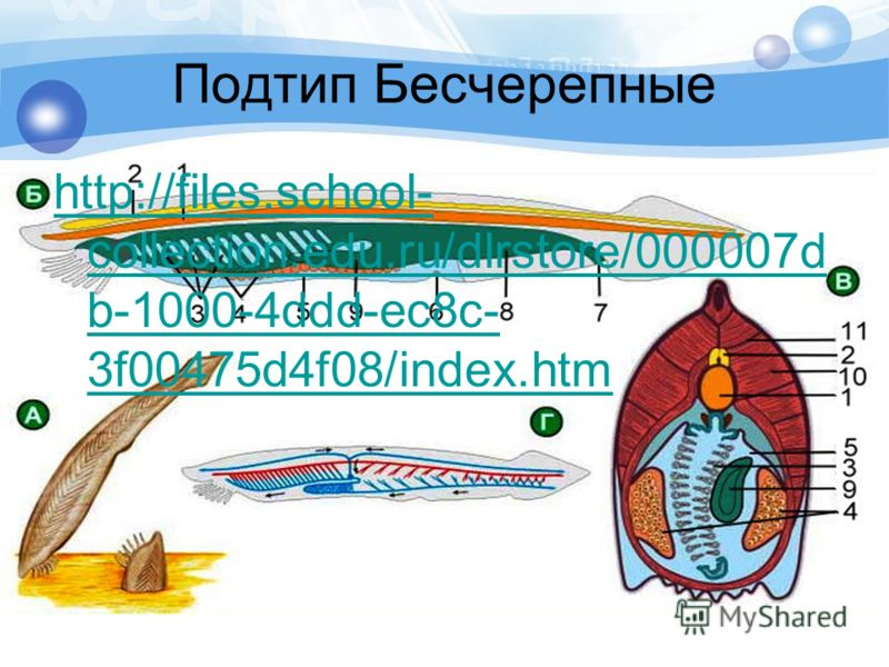 Подтип Бесчерепные http://files.school- collection.edu.ru/dlrstore/000007d b-1000-4ddd-ec8c- 3f00475d4f08/index.htm