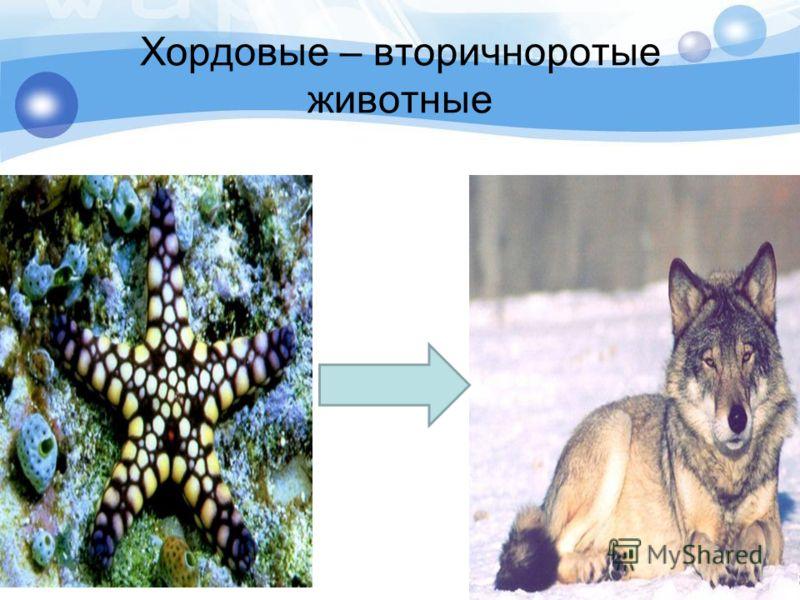 Хордовые – вторичноротые животные