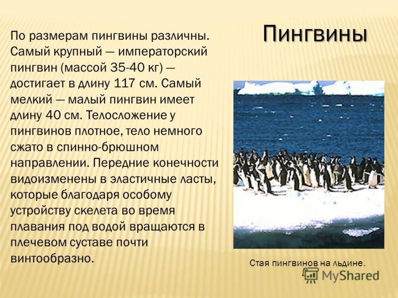 Пингвины По размерам пингвины различны. Самый крупный императорский пингвин (массой 35-40 кг) достигает в длину 117 см. Самый мелкий малый пингвин имеет длину 40 см. Телосложение у пингвинов плотное, тело немного сжато в спинно-брюшном направлении. П