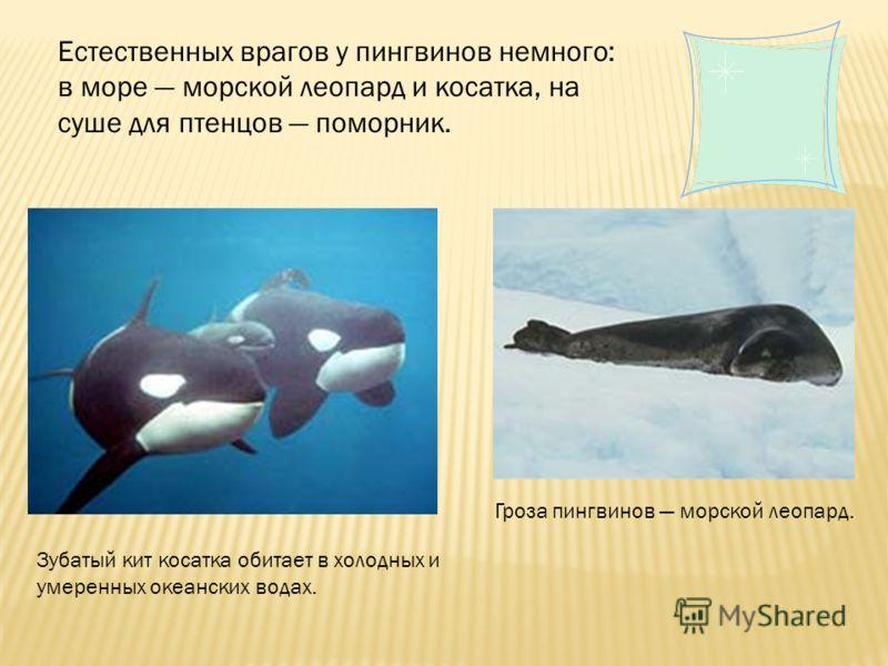 Естественных врагов у пингвинов немного: в море морской леопард и косатка, на суше для птенцов поморник. Зубатый кит косатка обитает в холодных и умеренных океанских водах. Гроза пингвинов морской леопард.