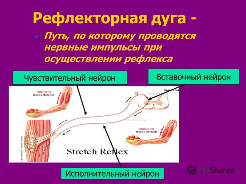 Рефлекторная дуга - Путь, по которому проводятся нервные импульсы при осуществлении рефлекса Чувствительный нейрон Исполнительный нейрон Вставочный нейрон
