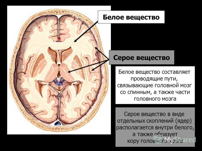 Белое вещество Серое вещество Белое вещество составляет проводящие пути, связывающие головной мозг со спинным, а также части головного мозга Серое вещество в виде отдельных скоплений (ядер) располагается внутри белого, а также образует кору головного