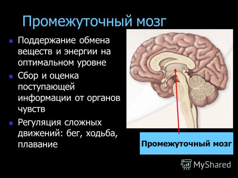Промежуточный мозг Поддержание обмена веществ и энергии на оптимальном уровне Сбор и оценка поступающей информации от органов чувств Регуляция сложных движений: бег, ходьба, плавание Промежуточный мозг