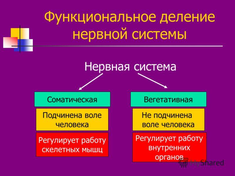 Функциональное деление нервной системы Нервная система СоматическаяВегетативная Подчинена воле человека Регулирует работу скелетных мышц Не подчинена воле человека Регулирует работу внутренних органов