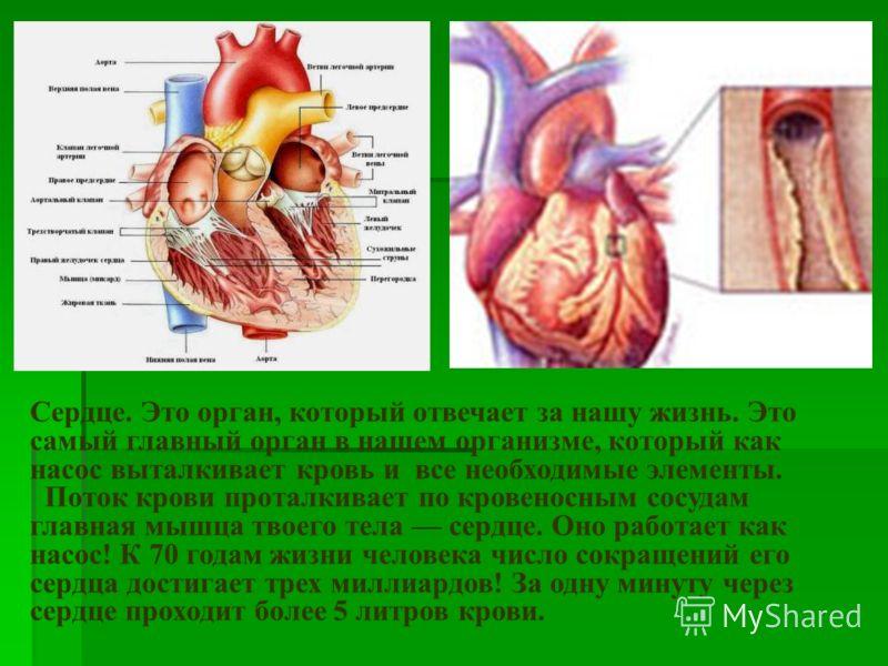 Сердце. Это орган, который отвечает за нашу жизнь. Это самый главный орган в нашем организме, который как насос выталкивает кровь и все необходимые элементы. Поток крови проталкивает по кровеносным сосудам главная мышца твоего тела сердце. Оно работа