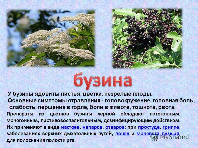 У бузины ядовиты листья, цветки, незрелые плоды. Основные симптомы отравления - головокружение, головная боль, слабость, першение в горле, боли в животе, тошнота, рвота. Препараты из цветков бузины чёрной обладают потогонным, мочегонным, противовоспа