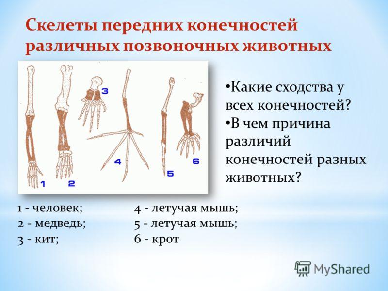 Скелеты передних конечностей различных позвоночных животных 1 - человек; 4 - летучая мышь; 2 - медведь; 5 - летучая мышь; 3 - кит;6 - крот Какие сходства у всех конечностей? В чем причина различий конечностей разных животных?