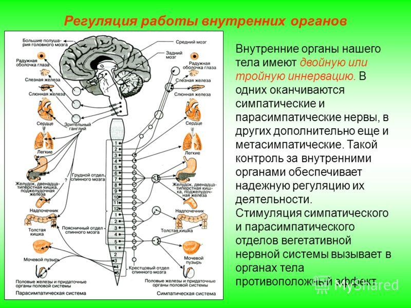 Регуляция работы внутренних органов Внутренние органы нашего тела имеют двойную или тройную иннервацию. В одних оканчиваются симпатические и парасимпатические нервы, в других дополнительно еще и метасимпатические. Такой контроль за внутренними органа