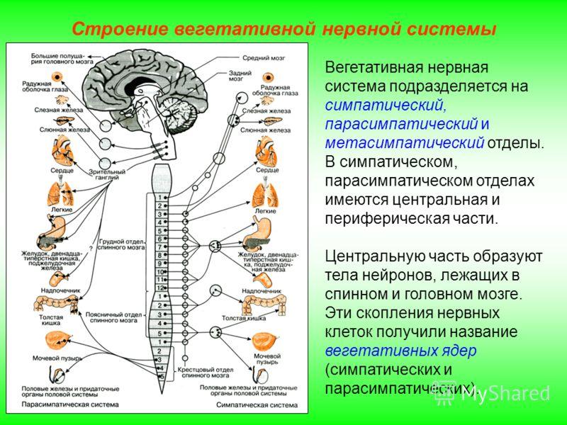 Строение вегетативной нервной системы Вегетативная нервная система подразделяется на симпатический, парасимпатический и метасимпатический отделы. В симпатическом, парасимпатическом отделах имеются центральная и периферическая части. Центральную часть
