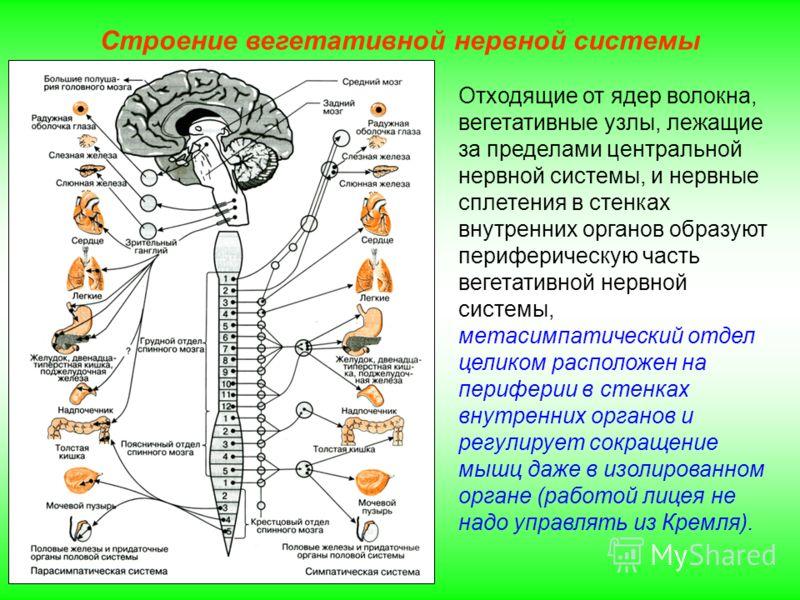 Строение вегетативной нервной системы Отходящие от ядер волокна, вегетативные узлы, лежащие за пределами центральной нервной системы, и нервные сплетения в стенках внутренних органов образуют периферическую часть вегетативной нервной системы, метасим