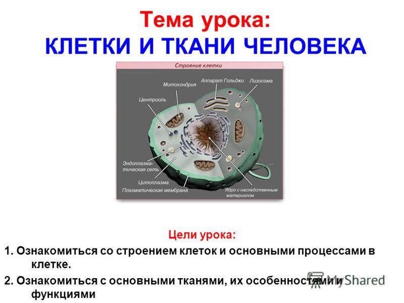 Тема урока: КЛЕТКИ И ТКАНИ ЧЕЛОВЕКА Цели урока: 1. Ознакомиться со строением клеток и основными процессами в клетке. 2. Ознакомиться с основными тканями, их особенностями и функциями