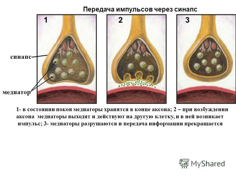 3 1 2 медиатор Передача импульсов через синапс 1- в состоянии покоя медиаторы хранятся в конце аксона; 2 – при возбуждении аксона медиаторы выходят и действуют на другую клетку, и в ней возникает импульс; 3- медиаторы разрушаются и передача информаци