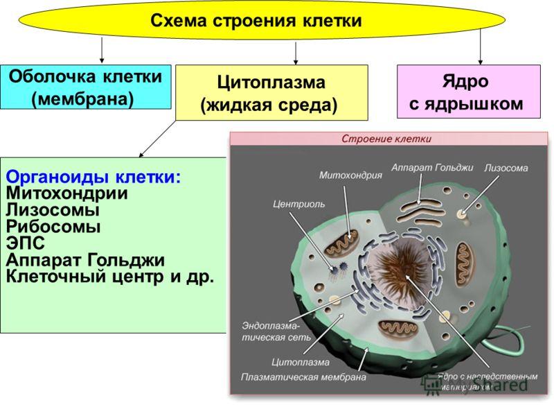 Схема строения клетки Ядро с ядрышком Цитоплазма (жидкая среда) Оболочка клетки (мембрана) Органоиды клетки: Митохондрии Лизосомы Рибосомы ЭПС Аппарат Гольджи Клеточный центр и др.