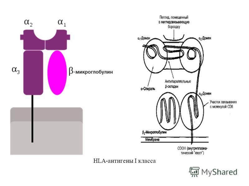 HLA-антигены I класса