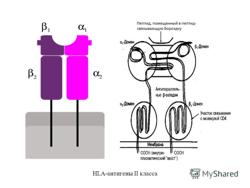 HLA-антигены II класса