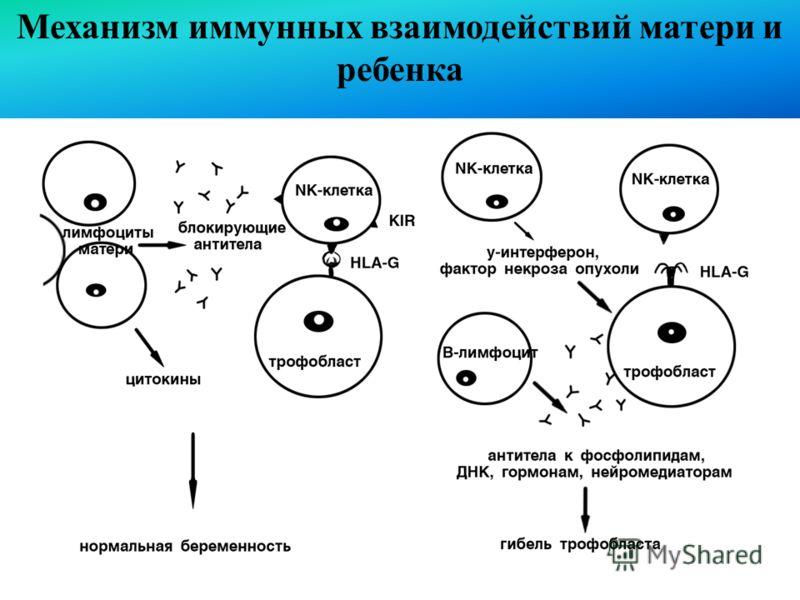 Механизм иммунных взаимодействий матери и ребенка