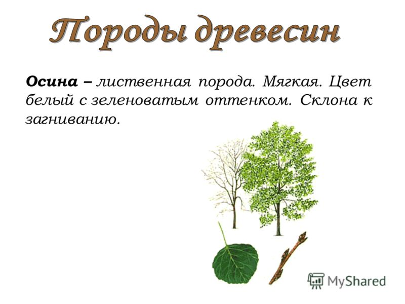 Осина – лиственная порода. Мягкая. Цвет белый с зеленоватым оттенком. Склона к загниванию.