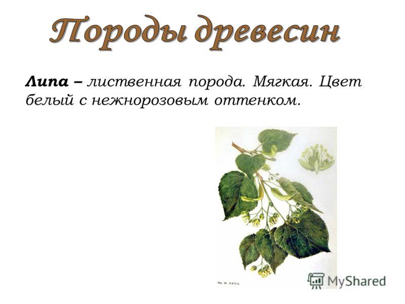 Липа – лиственная порода. Мягкая. Цвет белый с нежнорозовым оттенком.