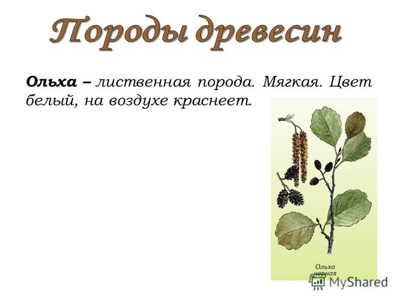 Ольха – лиственная порода. Мягкая. Цвет белый, на воздухе краснеет.