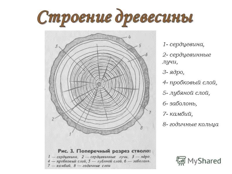 1- сердцевина, 2- сердцевинные лучи, 3- ядро, 4- пробковый слой, 5- лубяной слой, 6- заболонь, 7- камбий, 8- годичные кольца