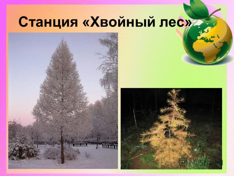 Станция «Хвойный лес»
