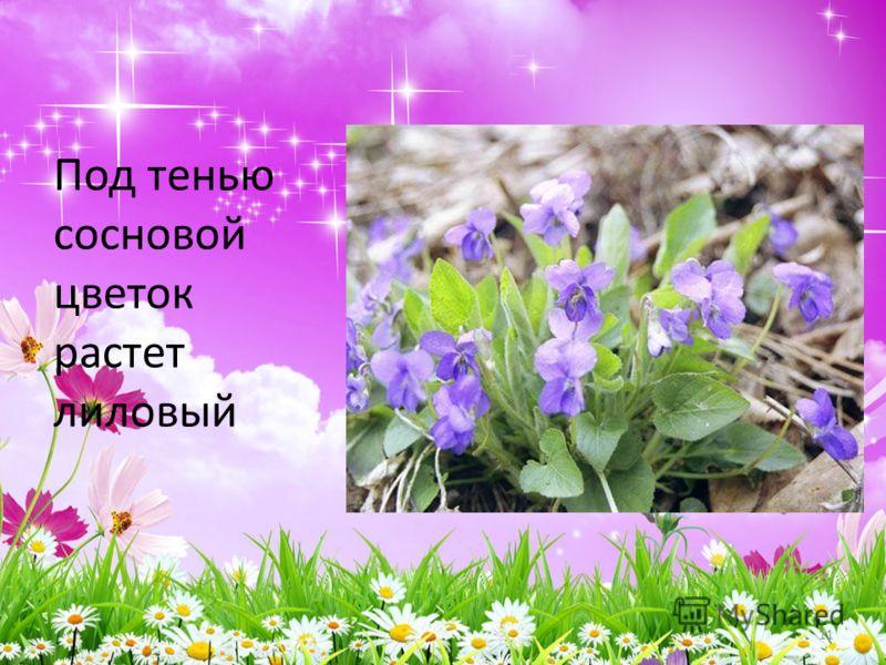 Под тенью сосновой цветок растет лиловый 11