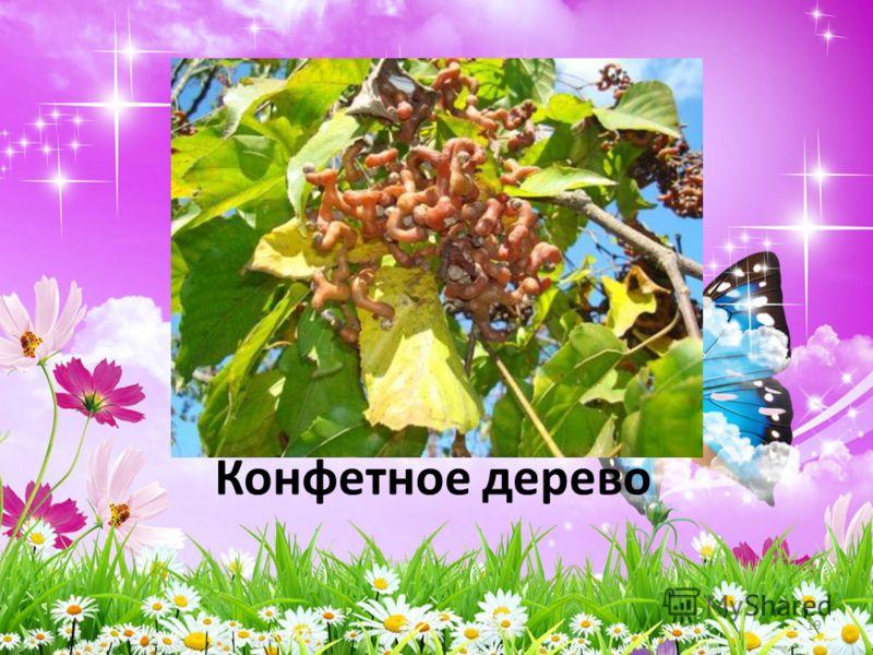 Конфетное дерево 19