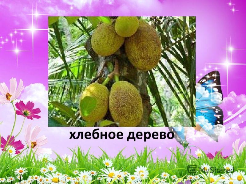 хлебное дерево 21