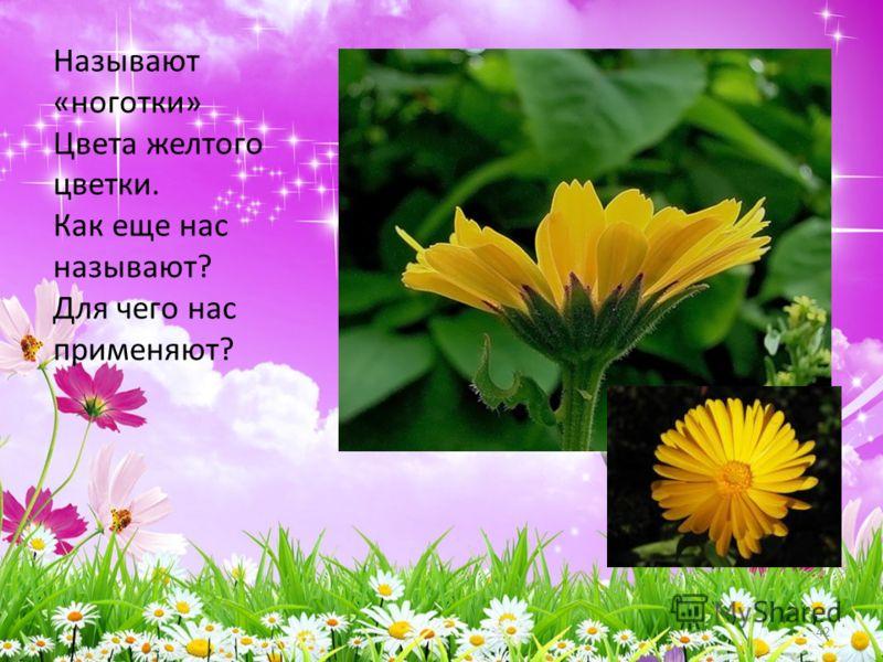 Называют «ноготки» Цвета желтого цветки. Как еще нас называют? Для чего нас применяют? 42