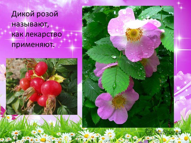 Дикой розой называют, как лекарство применяют. 45