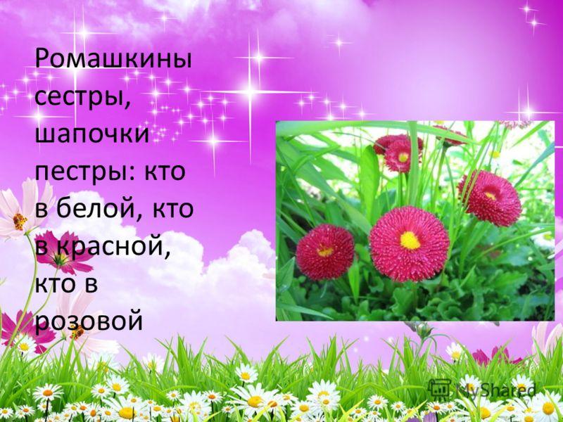 Ромашкины сестры, шапочки пестры: кто в белой, кто в красной, кто в розовой 7