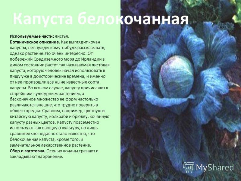 Используемые части: листья. Ботаническое описание. Как выглядит кочан капусты, нет нужды кому-нибудь рассказывать, однако растение это очень интересно. От побережий Средиземного моря до Ирландии в диком состоянии растет так называемая листовая капуст
