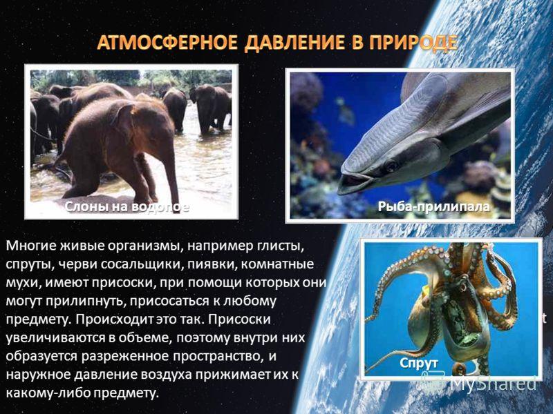 Слоны на водопое Рыба-прилипала Спрут Многие живые организмы, например глисты, спруты, черви сосальщики, пиявки, комнатные мухи, имеют присоски, при помощи которых они могут прилипнуть, присосаться к любому предмету. Происходит это так. Присоски увел
