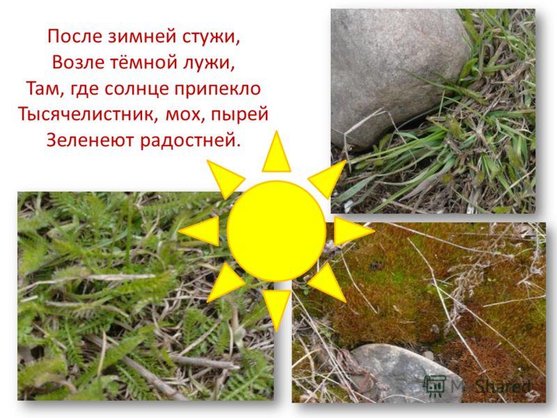 После зимней стужи, Возле тёмной лужи, Там, где солнце припекло Тысячелистник, мох, пырей Зеленеют радостней.