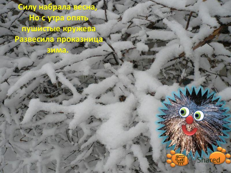 Силу набрала весна, Но с утра опять Но с утра опять пушистые кружева пушистые кружева Развесила проказница зима. Развесила проказница зима.