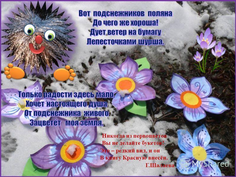 Никогда из первоцветов Вы не делайте букетов! Это – редкий вид, и он В книгу Красную внесён. Г.Шалаева