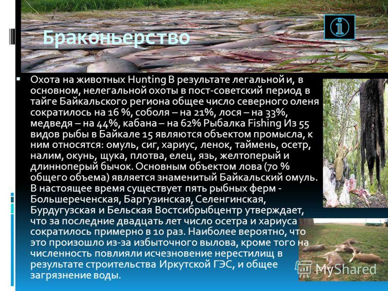 Браконьерство Охота на животных Hunting В результате легальной и, в основном, нелегальной охоты в пост-советский период в тайге Байкальского региона общее число северного оленя сократилось на 16 %, соболя – на 21%, лося – на 33%, медведя – на 44%, ка