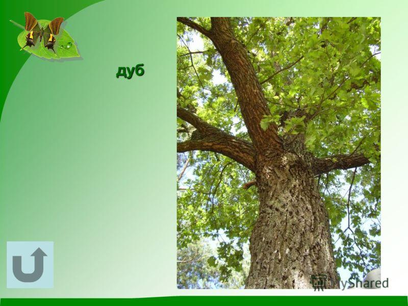 У этого растения могучий ствол, огромная крона, красивые резные листовые пластинки, а плодами любят лакомиться кабаны, белки, мыши.