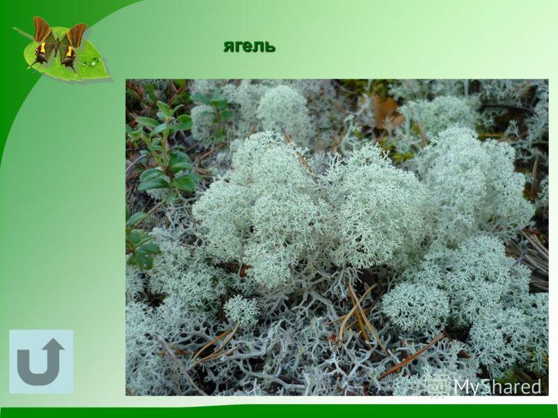 Это растение за год вырастает на толщину спички, похоже на миниатюрный кустарник, является пищей для северных оленей.