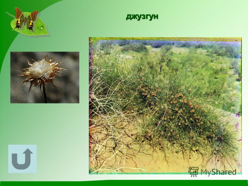 У этого кустарника роль листьев играют зелёные веточки. Плоды его очень лёгкие и к тому же снабжены особыми выростами. Ветер благодаря этому легко переносит их по пескам на большие расстояния.