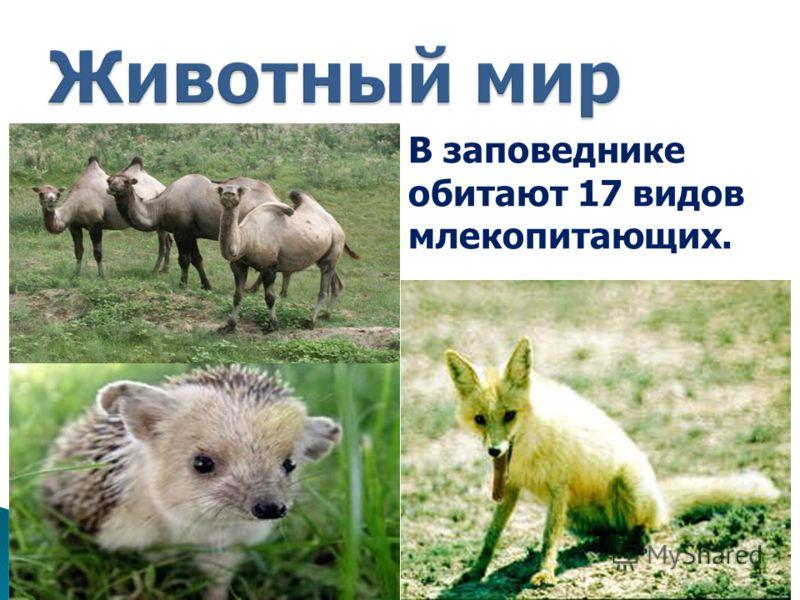 В заповеднике обитают 17 видов млекопитающих.