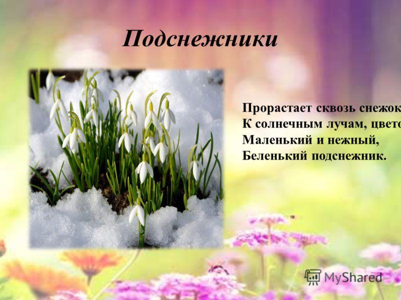 Подснежники Прорастает сквозь снежок, К солнечным лучам, цветок, Маленький и нежный, Беленький подснежник.