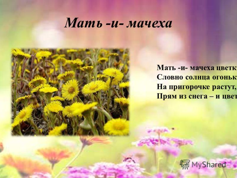 Мать -и- мачеха Мать -и- мачеха цветки Словно солнца огоньки. На пригорочке растут, Прям из снега – и цветут.