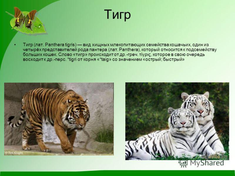 Тигр Тигр (лат. Panthera tigris) вид хищных млекопитающих семейства кошачьих, один из четырёх представителей рода пантера (лат. Panthera), который относится к подсемейству больших кошек. Слово «тигр» происходит от др.-греч. τίγρις, которое в свою оче