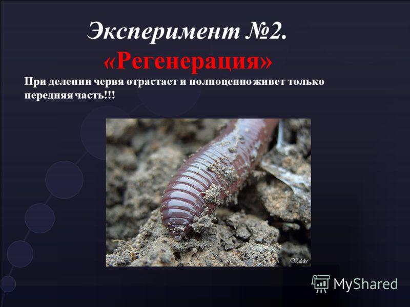 Эксперимент 2. «Регенерация» При делении червя отрастает и полноценно живет только передняя часть!!!
